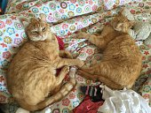 High Angle View Of Ginger Cats Lying On Bed At Home