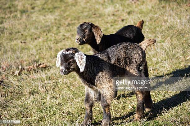 High Angle View Of Goats On Grassy Field