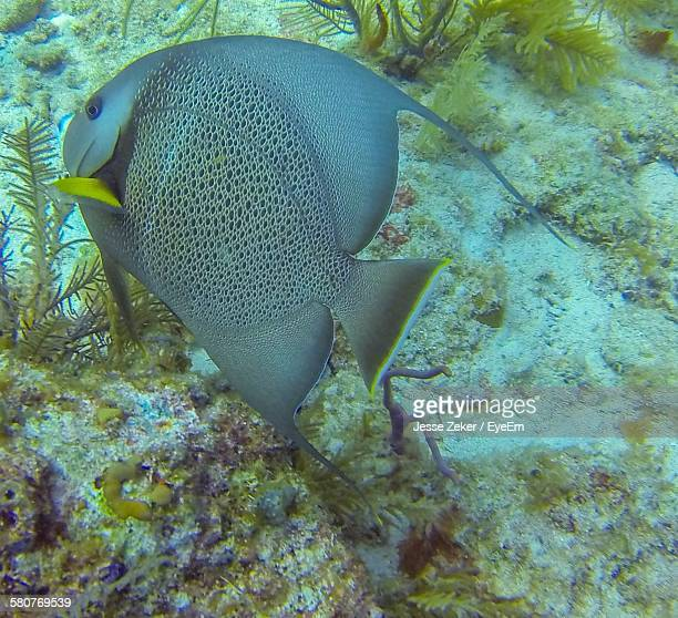 High Angle View Of Gray Angelfish Swimming In Sea