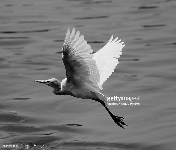 High Angle View Of Great Egret Flying Over Lake
