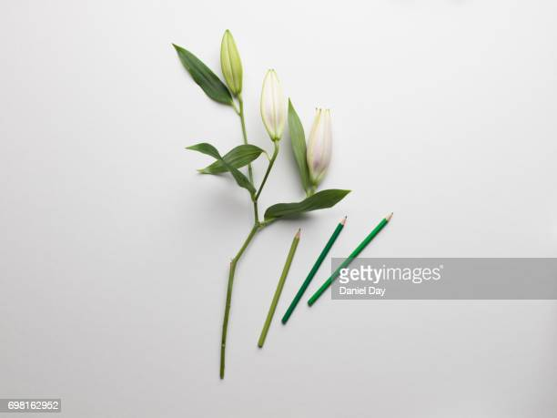 High angle view of green coloured pencil crayons next to white lilies with long green stems on a white background