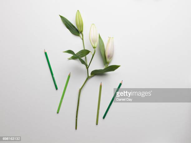 High angle view of green coloured pencil crayons next to white lilies with a long green stem on a white background