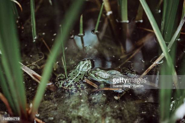 High Angle View Of Green Frogs In Water