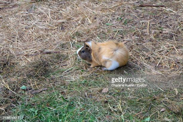 High Angle View Of Guinea Pig On Field