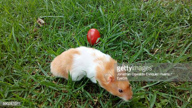 High Angle View Of Hamster On Grassy Field