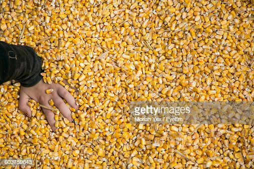 High Angle View Of Hand Touching Corn Kernels