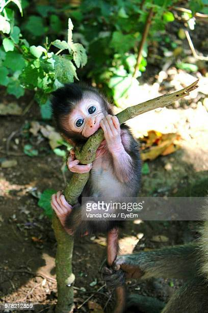 High Angle View Of Infant Monkey Hanging On Tree