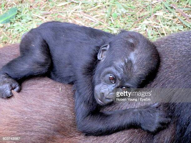 High Angle View Of Infant Relaxing On Gorilla At Zoo