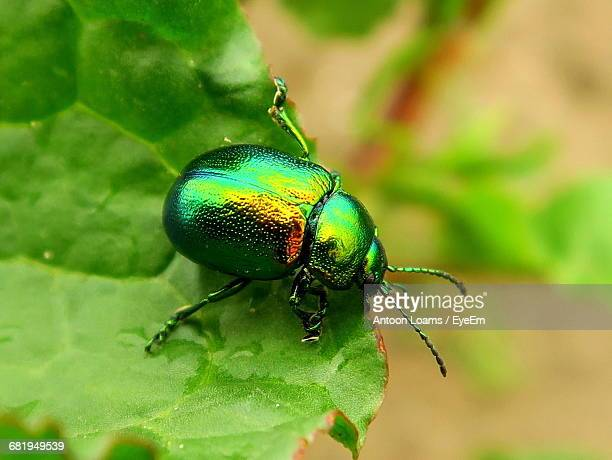 High Angle View Of June Beetle On Leaf