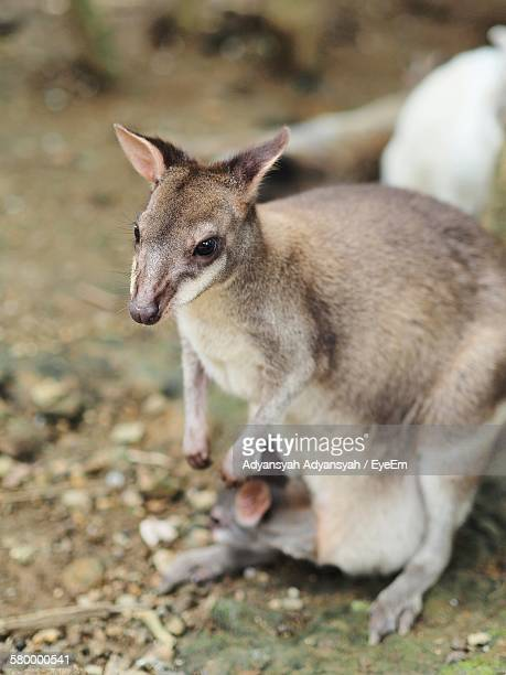 High Angle View Of Kangaroo With Joey In Pouch