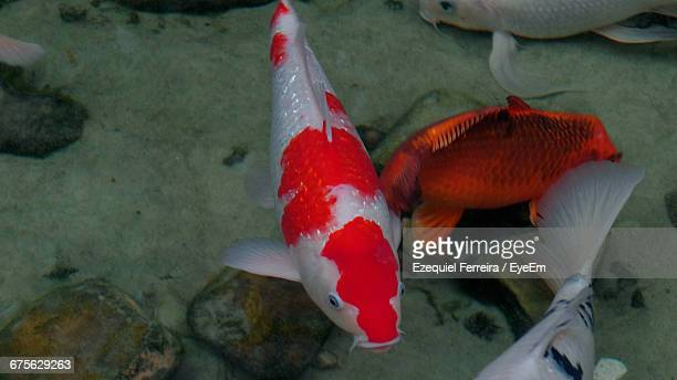 High Angle View Of Koi Carp Fish Swimming In Pond