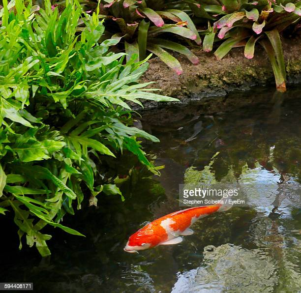 High Angle View Of Koi Carp Swimming In Pond