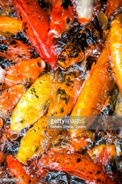 High Angle View Of Koi Carps In Water