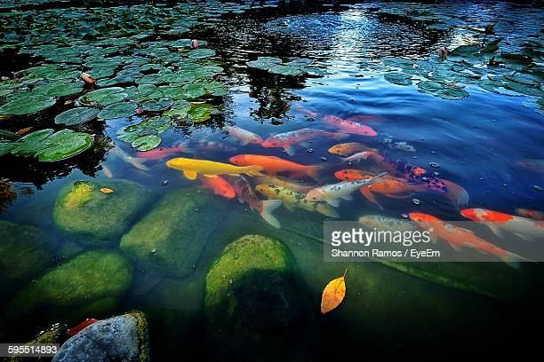 Freshwater fish stock photos and pictures getty images for Pool koi aquatics ltd
