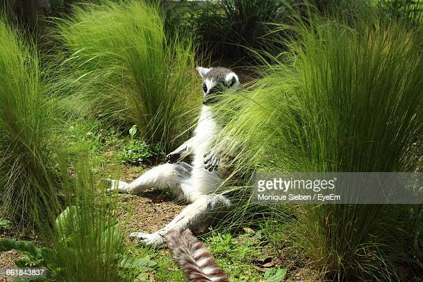 High Angle View Of Lemur Sitting On Field