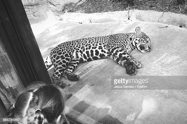 High Angle View Of Leopard Lying Seen Through Window At Zoo