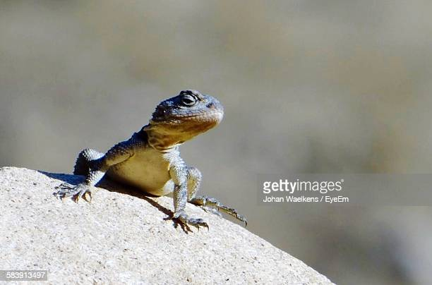 High Angle View Of Lizard On Rock