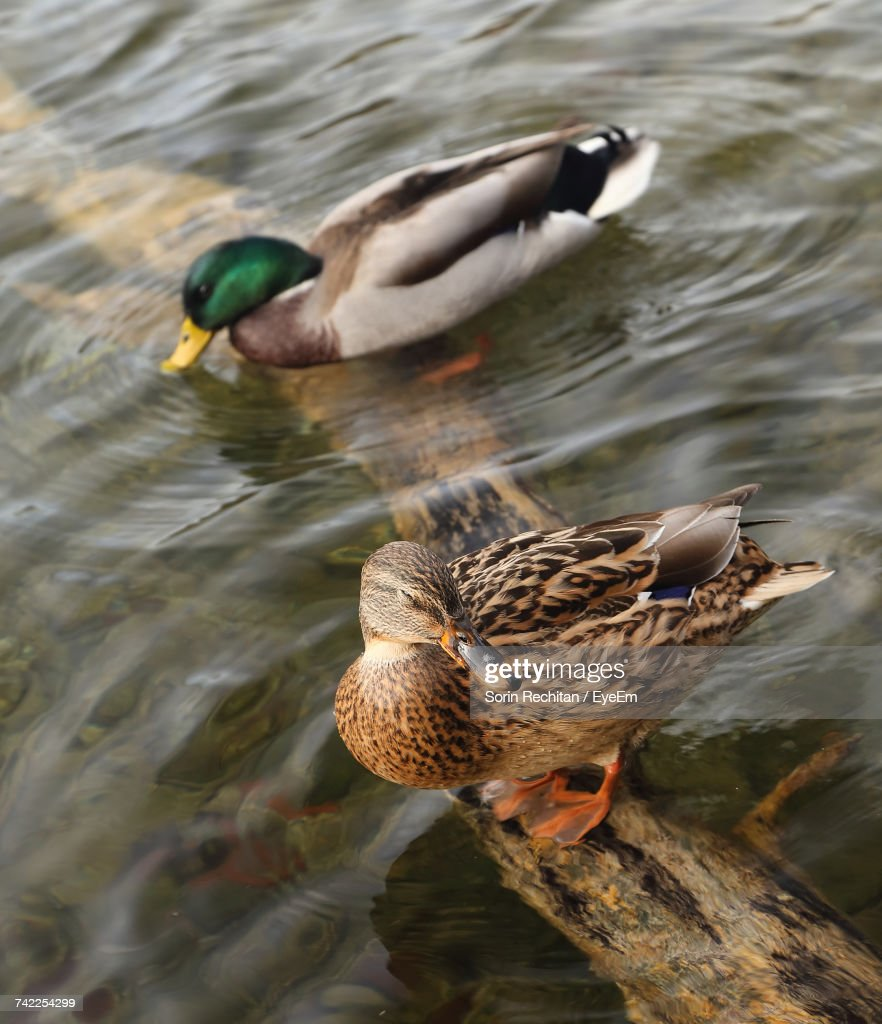 high angle view of mallard ducks on root in lake at plitvice lakes