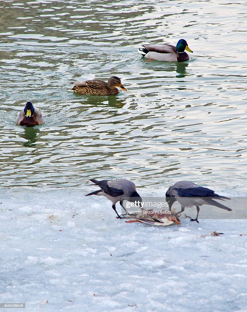 high angle view of mallard ducks swimming in lake with crows