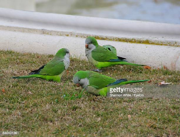 High Angle View Of Monk Parakeets Perching On Grassy Field