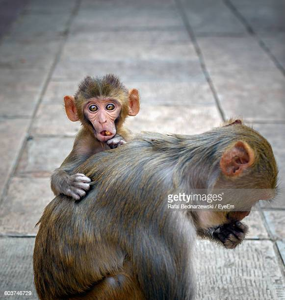 High Angle View Of Monkey With Infant On Footpath