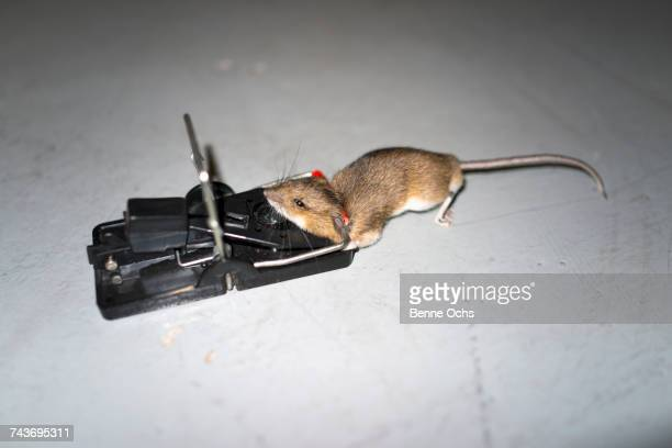 High angle view of mouse on trap over floor