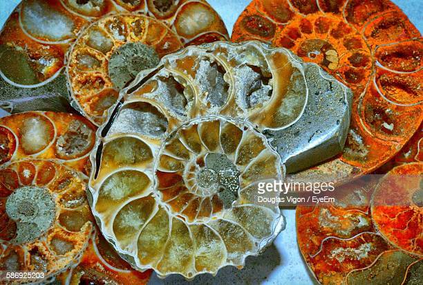 High Angle View Of Nautilus Fossils Table