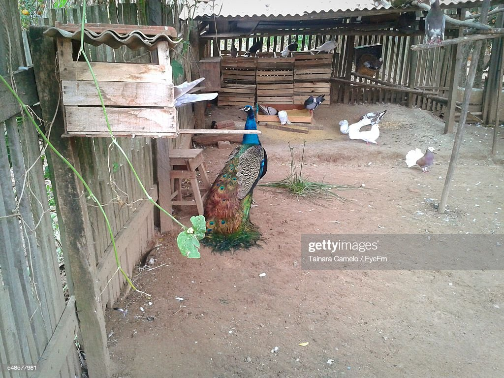 high angle view of peacock and pigeons in yard stock photo getty
