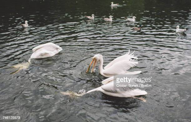 High Angle View Of Pelicans Swimming On Lake At St James Park