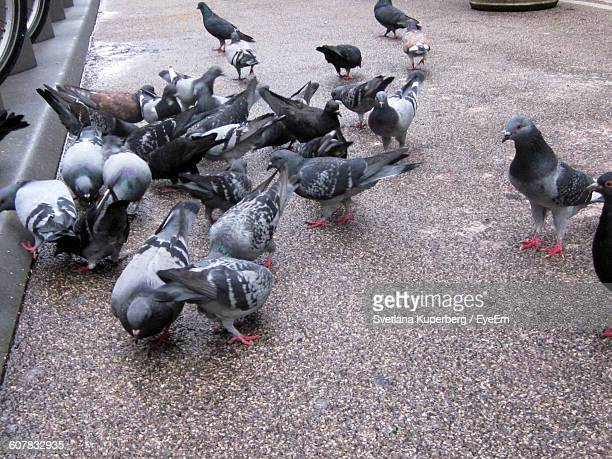 High Angle View Of Pigeons On Street