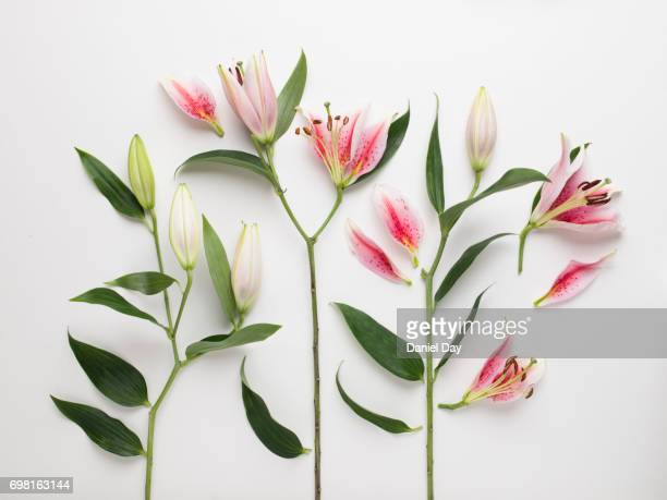 High angle view of pink and white lilies cut up into pieces laid out on a white background