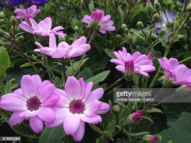 High Angle View Of Pink Cineraria Flowers Growing On Field