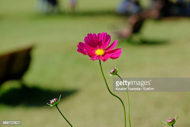 High Angle View Of Pink Cosmos Flower Blooming At Park