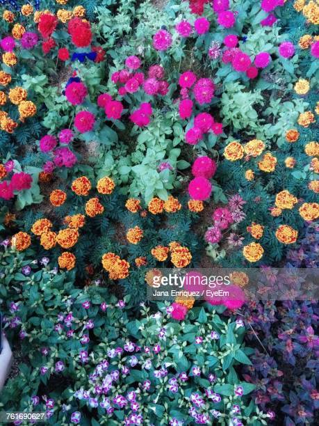High Angle View Of Pink Flowers Blooming On Field