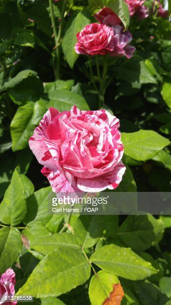 High angle view of pink rose