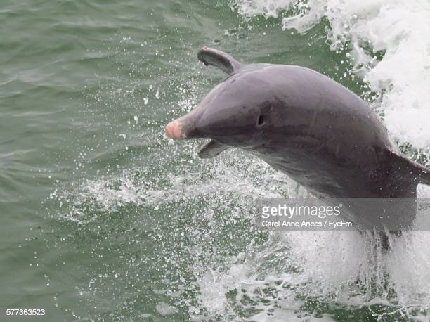High Angle View Of Porpoise Jumping In Sea
