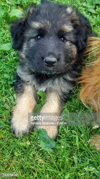 High Angle View Of Puppy On Grass