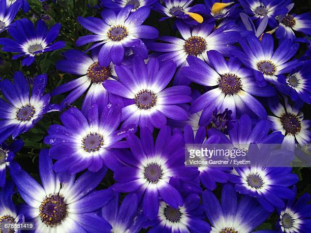 High Angle View Of Purple And White Cineraria Flowers Growing On Field