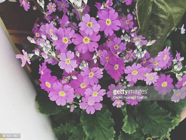 High Angle View Of Purple Flowers