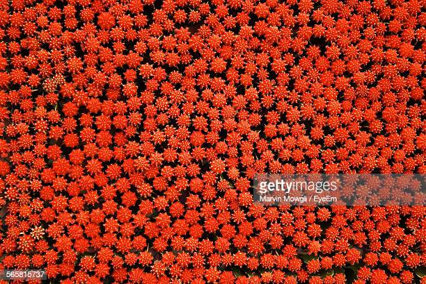 High Angle View Of Red Cactus Flowers