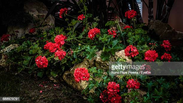 High Angle View Of Red Flowers Blooming In Yard