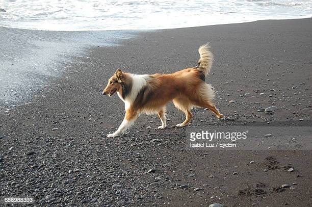 High Angle View Of Rough Collie At Beach