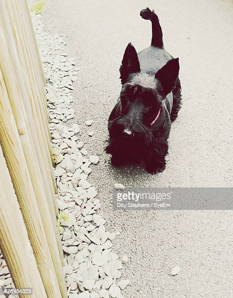 High Angle View Of Scottish Terrier On Road