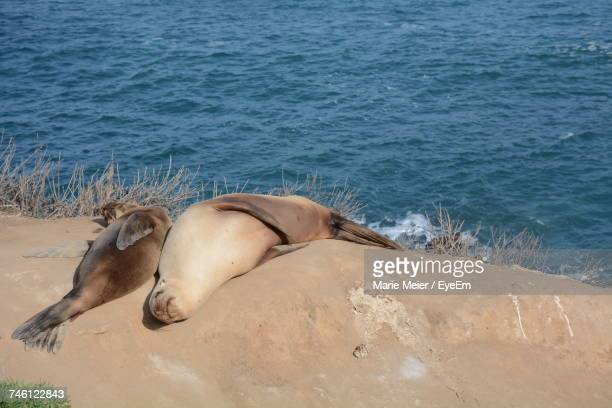 High Angle View Of Sea Lions On Sand At Beach