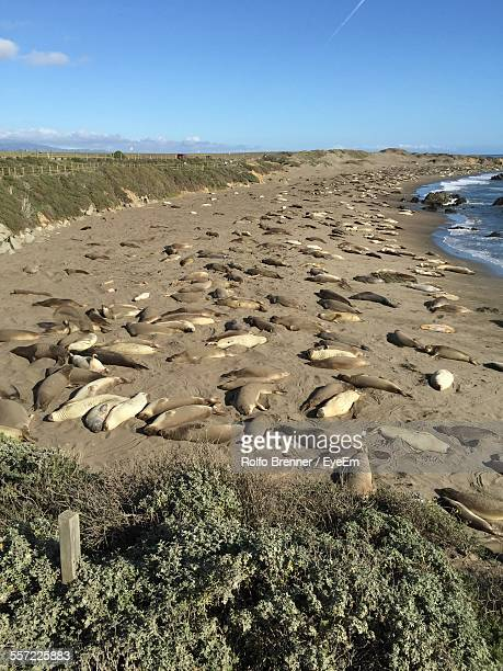High Angle View Of Sea Lions Resting On Beach At Coast