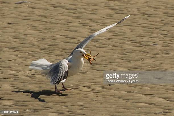 High Angle View Of Seagull With Prey On Beach