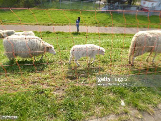High Angle View Of Sheep Walking On Grassy Field Seen Through Net