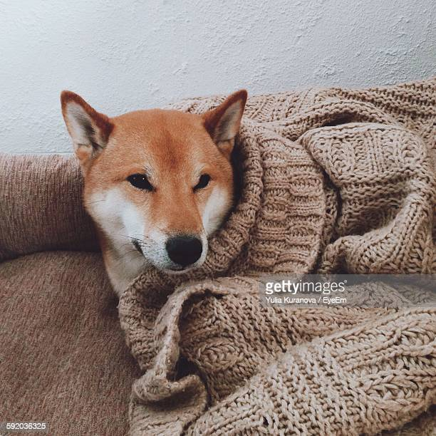 High Angle View Of Shiba Inu Dog Lying On Sofa Against Wall
