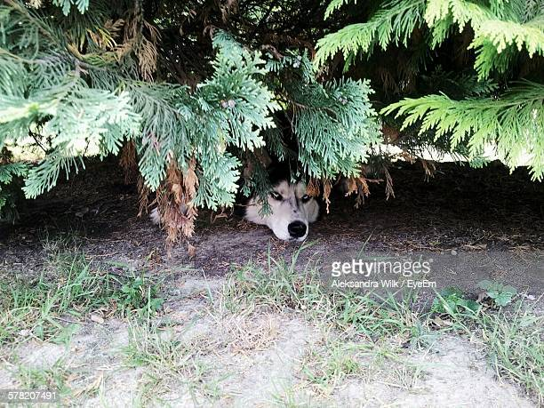 High Angle View Of Siberian Husky Hiding In Trees
