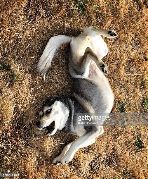 High Angle View Of Siberian Husky Relaxing On Field
